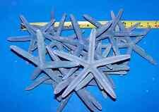 4  REAL BLUE STARFISH STAR FISH CRAFTS WEDDINGS WOW ITEM# BSF6-4