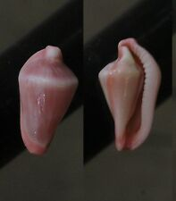 "Dentiovula horai,  ""SUPERB"", 16.2mm, F+++/GEM, great specimens"