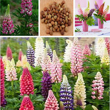 Russell Lupine Lupinus Polyphyllus Flower Garden Perennial Seeds 100 Mixed Color