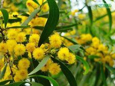 50+ Acacia confusa seeds PHILLIPPINE ACACIA Tree seeds
