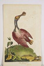 Ornithologie gravure ancienne aquarellée XVIII° 1799 SPATULE J. Pass graveur