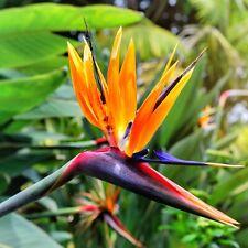 8in Organic USA Bird of Paradise Orange Flower Strelitzia Live Plant