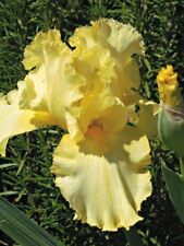 """1- rhizome,Yellow Bearded Iris, """"Harvest of memories"""", flowering perennials"""