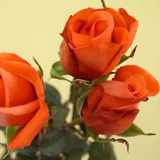 200pcs Orange Rose Seeds Garden Flower Seeds Rosa Rugosa