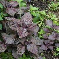 Big Leaf Purple Basil Seed Organic Ocimum Perilla Frutescens Seed Vegetable Herb