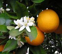 Orangenblütenwasser, Neroli, Neroliwasser, o. Konservierg., 500ml, sensible Haut