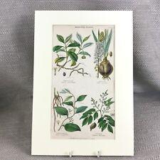 1858 Antico Botanico Stampa Piante Salsapariglia Fiori Originale Mano Colorato