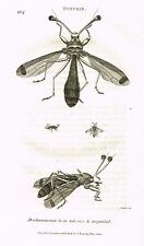 """Shaw's General Zoology (Insects) - """"STACK-EYED FLY - DIOPSIS"""" -Copper Eng.- 1805"""