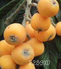 15 Loquat tree(Japanese Plum)seeds from Jumbo,Sweet,Juicy fruit,California 2019