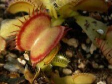 Semi (10) di Dionaea muscipula 'inner red line', pianta carnivora (+ guida)