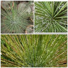 10 seeds of agave ornithobroma, succulents, cacti, succulents seed C