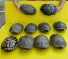 10 piece lot of 8 inch Red Eared Slider Turtle Shells - taxidermy (S)