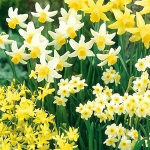 50x Daffodil Mixed Min Dwarf Rockery Narcissus Spring Flowering Size Bulbs