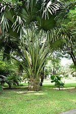 Holen Sie sich eine wunderschöne Palmenart in den Wintergarten: die Fächerpalme