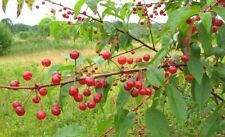 Pin Cherry (Prunus pensylvanica) 30 seeds