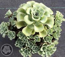 Aeonium aureum - Succulents Australia Online Sale