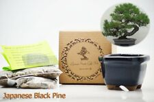 Japanese Black Pine Bonsai Seed Kit Gift Complete Kit to Grow GIFT Holiday Decor