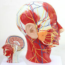 Medical Anatomical Model of Half Head And Neck with Vessels 27*10*20cm Newest