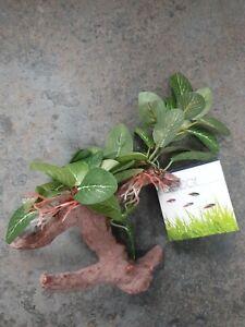 Fluval African Shade Leaf Plant On Root 20cm Aquarium Fish Tank Decor