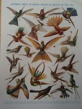 Types of HUMMING BIRD old vintage print 1920's
