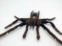 MEDIUM SPREAD Taxidermy Tarantula Spider Eurypelma spinicrus Indonesian Specimen