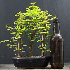 Mammutbaum, Metasequoia, Waldgestaltung, Outdoor-Bonsai, 9 Jahre, 24 cm