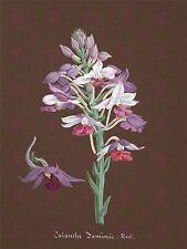 Libro De Pintura página orquídea calanthe dominii gran impresión arte cartel lf1423