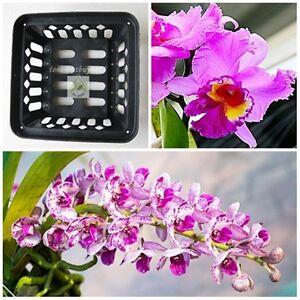 """5 FREE 1 Vanda Orchid Mash Pot Basket 6"""" Square Hanging Phalaenopsis Paphiopedil"""