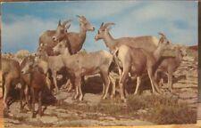 Montana Postcard Big Horn MOUNTAIN SHEEP AT MANY GLACIER Glacier National Park