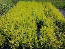 50 Leyland Cypress 'Castlewellan Gold' / Golden Leylandii 30-40cm in 9cm Pots