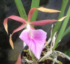 New listing Nodosa Orchid Primary Hybrid Bc Bessho (nodosa x tenebrosa) large seedling