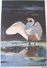"""Terry Isaac  """"Into the Sun Trunpeter Swan""""  ,S/NL/E"""