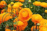 Seeds Ranunculus Flowers Orange Buttercup Garden Home Perennial Plants 100 Pcs