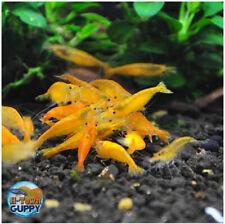10+1 Sunkist Orange - Freshwater Neocaridina Aquarium Shrimp. Live Guarantee