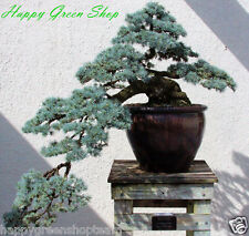 ATLAS CEDAR - 12 SEEDS - Cedrus atlantica Bonsai Blue Atlas Cedar Christmas
