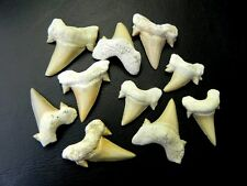 "1 "" - 1 3/8 "" Small Otodus Shark Tooth 10 Pcs Moroccan Fossil Teeth A grade"