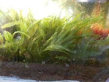 Caulerpa Mexicana XXL Algae Live Macro saltwater marine Reef coral fish seahorse