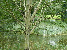 1 Silver Birch Jacquemontii 5-6ft In 2L Pot Tree, Himalyan White Birch, Betula