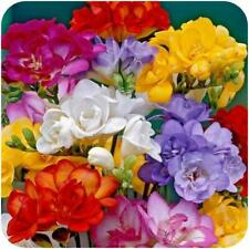 Freesia Bulbs Perennial Resistant Mix Double Flower Rich Scented Garden Bedding