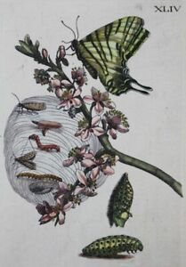 Dovetail butterfly - col. copper engraving Maria Sibylla Merian entomology 1730