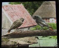 Glass Magic Lantern Slide BIRDS OF EUROPE NO85 C1910 ORNITHOLOGY PHOTO