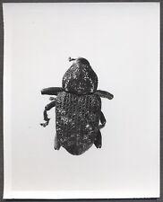 Unusual Vintage Photo Beetle Bug Scientific Specimen Entomology 258113