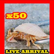 x50 Live Marine Saltwater White Leg Hermit Crabs Coral Aquarium Algae Eater Crew