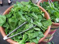 Spinach BOGO 50/% off SALE Bloomsdale 100 Seeds