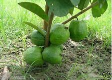 Rare Little Dwarf  Guava 30 Fresh seeds, Free shipping, High Yielding Variety