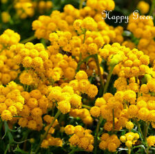 Yellow Ageratum - Lonas inodora - 850 SEEDS - Annual border cutting flower