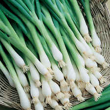 Onion Evergreen White Bunching / Scallion Spring Onion Seeds Combined Shipping