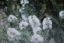 15 graines d'Arbre à Thé Melaleuca alternifolia,Huile de l'Arbre à Thé#377