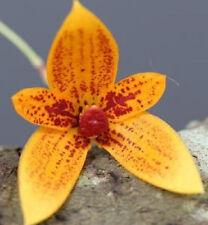 BIN-Bulbophyllum pardalotum x self Collectors Item Unique-Easy care Orchid Plant
