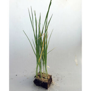Gemüsepflanzen - Porree / Lauch - Allium porrum - verschiedene Mengen
